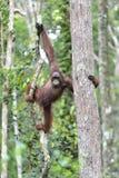 Bornean猩猩在树的类人猿pygmaeus在狂放的natur 免版税图库摄影