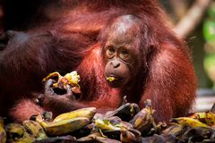 Bornean猩猩婴孩吃 免版税库存照片