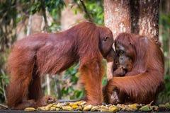 Bornean猩猩婴孩和女性 免版税库存照片