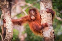 Bornean猩猩婴孩坐树 免版税库存图片
