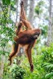 Bornean猩猩年轻男性在树的在一个自然生态环境 免版税库存照片