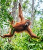 Bornean猩猩年轻男性在树的在一个自然生态环境 免版税库存图片