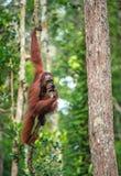 Bornean猩猩年轻男性在树的 免版税库存照片