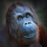 Bornean猩猩(类人猿pygmaeus)。 免版税库存照片