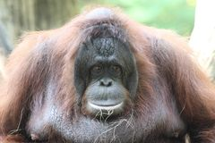 Bornean猩猩(类人猿pygmaeus) 库存图片