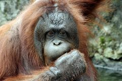 Bornean猩猩(类人猿pygmaeus) 免版税库存照片
