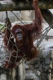 Bornean猩猩-类人猿Pygmaeus 库存照片