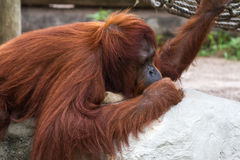 Bornean猩猩-类人猿Pygmaeus 图库摄影