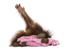 年轻Bornean猩猩说谎,拥抱一块桃红色毛巾 免版税库存图片