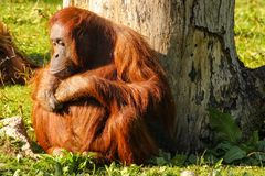 bornean猩猩 都伯林动物园 爱尔兰 免版税库存图片