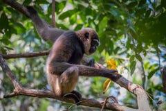Bornean白胡子的长臂猿,长臂猿albibarbis 免版税库存图片