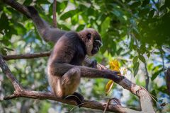 Bornean άσπρος-γενειοφόρο gibbon, albibarbis Hylobates Στοκ εικόνες με δικαίωμα ελεύθερης χρήσης