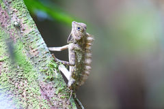 Bornean Angle-headed Lizard Royalty Free Stock Images