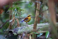 Bornean banded pitta in Borneo. Bornean banded pitta Hydrornis schwaneri male in Borneo, Malaysia Stock Photography