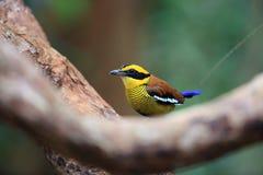 Bornean banded pitta in Borneo. Bornean banded pitta Hydrornis schwaneri male in Borneo, Malaysia Stock Image