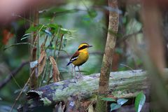 Bornean banded pitta in Borneo. Bornean banded pitta Hydrornis schwaneri male in Borneo, Malaysia Royalty Free Stock Images