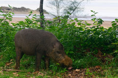 Bornean bearded pig, Bako National Park, Borneo Stock Images