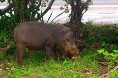 Bornean bearded pig, Bako National Park, Borneo Stock Photography