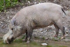 Bornean bearded pig Sus barbatus Royalty Free Stock Image