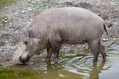 Bornean bearded pig Sus barbatus Royalty Free Stock Photo
