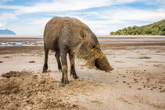 Bornean bearded pig Sus Barbatus on Bako national park beach searching for food in the sand, Kuching, Malaysia, Borneo. This wild bornean bearded pig, Sus Stock Photos
