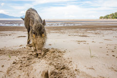 Bornean bearded pig Sus Barbatus on Bako national park beach searching for food in the sand, Kuching, Malaysia, Borneo. This wild bornean bearded pig, Sus Royalty Free Stock Photo