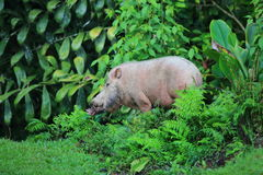 Bornean bearded pig Royalty Free Stock Images