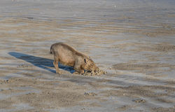 Bornean bearded pigs on beach Stock Images