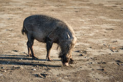 Bornean bearded pigs on beach Royalty Free Stock Photos