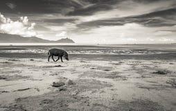 Bornean brodaty świniowaty Sus Barbatus na plaży, czarny i biały wersja Zdjęcie Royalty Free
