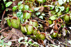 Bornean carnivorous pitcher plants, Nepenthes ampullaria Stock Photos