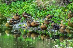 The beautiful Fulvous whistling duck. The Bornean Fulvous whistling duck is a passerine bird in the crow family, Corvidae. It is endemic to montane forests on stock images