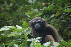 Bornean gibbon royaltyfri bild