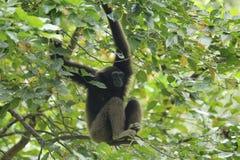 Bornean gibbon arkivbilder