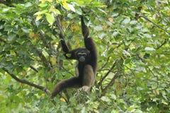 Bornean gibbon royaltyfri fotografi