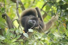Bornean gibbon royaltyfria foton