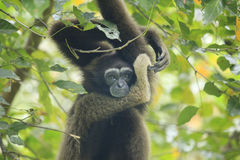 Bornean gibbon arkivfoto