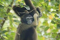 Bornean gibbon Stock Photo