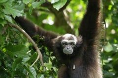 Bornean gibbon Royalty Free Stock Images