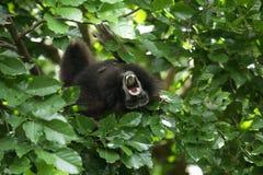 Bornean gibbon Stock Photos