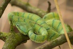 Bornean keeled green pit viper (Tropidolaemus subannulatus) snake, Bako National Park, Sarawak, Borneo. Bornean keeled green pit viper (Tropidolaemus Royalty Free Stock Photo