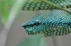 Bornean Keeled Pit Viper. Found in Bako National Park Stock Photos