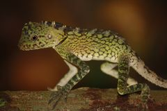 Bornean lizard Royalty Free Stock Images