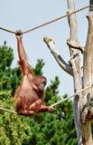 bornean orang utan Стоковая Фотография RF