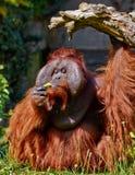 bornean orang utan Стоковое фото RF