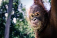 bornean orang utan Стоковое Фото