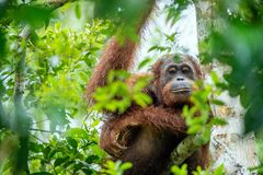 Bornean-Orang-Utan auf dem Baum in der wilden Natur Stockfotos