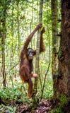 Bornean-Orang-Utan auf dem Baum in einem natürlichen Lebensraum Stockbilder