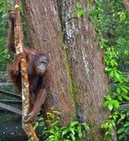 Bornean-Orang-Utan auf dem Baum unter Regen Stockfotografie