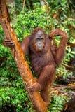 Bornean-Orang-Utan auf dem Baum unter Regen in der wilden Natur Lizenzfreie Stockfotos